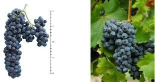International PIWI Wine Award: eccellenti i vini da viti resistenti alle malattie