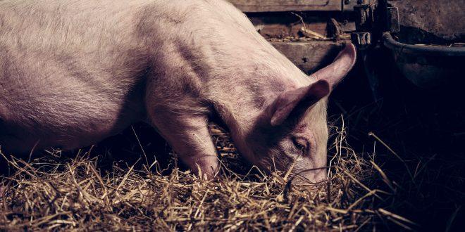 I maiali fotografati in una stalla con paglia appaiono più felici